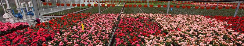 Цветы оптом минск дешево