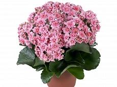 Комнатные цветы заказать через интернет по р.б купить розы аваланш спб